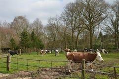 Коровы в луге на ферме Стоковая Фотография