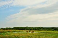 Коровы в луге около воды Стоковые Изображения