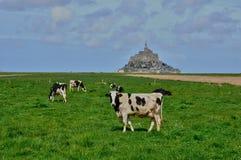 Коровы в луге около Святого Мишеля Mont в Normandie Стоковое Фото