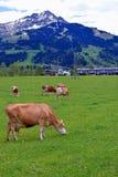 Коровы в луге с австрийцем Альпами на предпосылке Стоковые Изображения RF