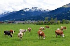 Коровы в луге с австрийцем Альпами на предпосылке Стоковые Фотографии RF