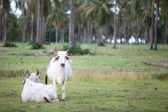 Коровы в луге Стоковая Фотография RF