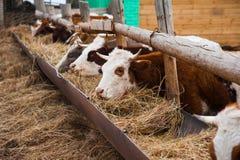 Коровы в ферме Молочные коровы Стоковые Фото