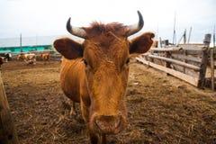 Коровы в ферме Молочные коровы Стоковые Фотографии RF