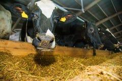 Коровы в ферме Молочные коровы Стоковое фото RF