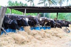 Коровы в ферме, молочные коровы есть в ферме Стоковая Фотография RF