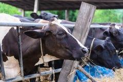 Коровы в ферме, молочные коровы есть в ферме Стоковые Фото