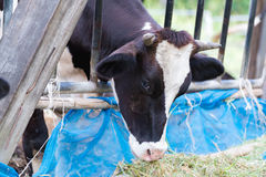 Коровы в ферме, молочные коровы есть в ферме Стоковая Фотография