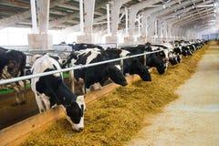 Коровы в ферме Молочные коровы Стоковые Изображения