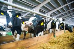 Коровы в ферме Молочные коровы Стоковое Изображение RF
