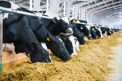 Коровы в ферме Молочные коровы Стоковое Изображение