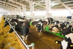 Коровы в ферме Молочные коровы Стоковая Фотография
