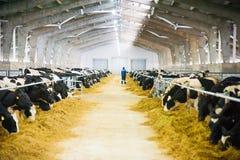 Коровы в ферме Молочные коровы Стоковое Фото