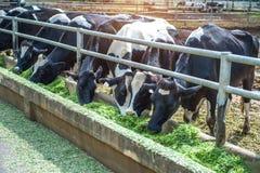 Коровы в ферме Стоковые Изображения