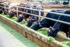 Коровы в ферме Стоковое Фото