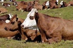 Коровы в французском альп Стоковые Изображения RF