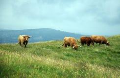 Коровы в холмах - скотины гористой местности Стоковая Фотография