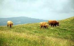 Коровы в холмах - скотины гористой местности Стоковые Изображения