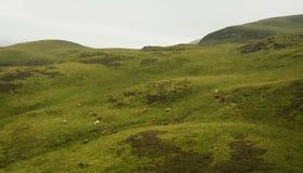 Коровы в холмах - скотины гористой местности Стоковое фото RF