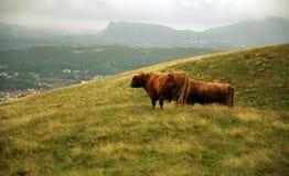 Коровы в холмах - скотины гористой местности Стоковая Фотография RF