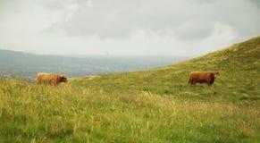 Коровы в холмах - скотины гористой местности Стоковые Фото