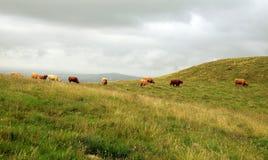 Коровы в холмах - скотины гористой местности стоковое изображение rf