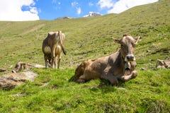 Коровы в alps Стоковые Изображения