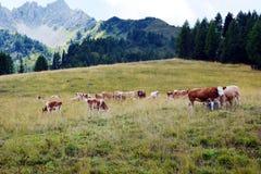 Коровы в Cadore в горах Dolomity, Италии Стоковое Фото