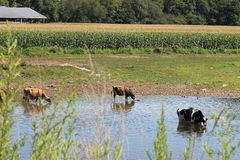 Коровы в The Creek Стоковое Изображение RF