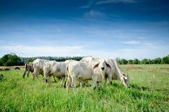 Коровы в fram Стоковая Фотография