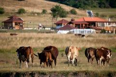 Коровы в medows осени Стоковая Фотография RF