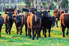 Коровы в paddock около Marysille в сельском Виктории, Австралии стоковые изображения rf