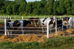 Коровы в paddock Стоковое Изображение