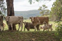 Коровы в paddock Стоковая Фотография