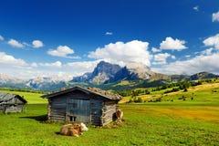 Коровы в Seiser Alm, луге самой большой большой возвышенности высокогорном в Европе, оглушать скалистых горах на предпосылке Стоковые Фото