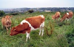 Коровы Гернси на горном склоне обрабатываемой земли в Гернси Стоковое фото RF