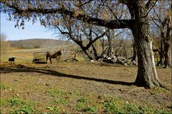 Коровы говядины в выгоне осени Стоковое Изображение