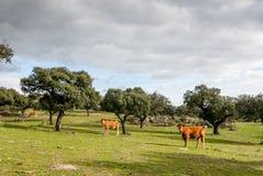 Коровы говядины, гонка Retinto, пася в Dehesa, Испания Стоковое Изображение RF