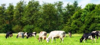Коровы Гольштейна пася на зеленом луге Стоковое Изображение RF