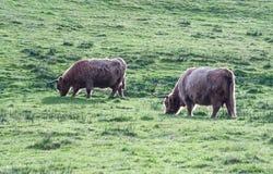 Коровы гористой местности есть траву Стоковое фото RF