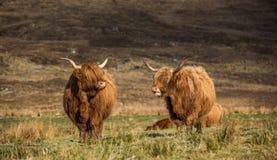 2 коровы гористой местности наслаждаясь солнцем Стоковое Изображение RF