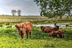 Коровы гористой местности на острове Tiengemeten Стоковые Изображения