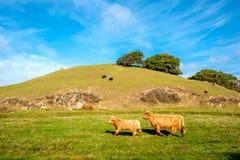 Коровы гористой местности на поле, Калифорнии Стоковые Фотографии RF