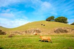 Коровы гористой местности на поле, Калифорнии Стоковые Изображения