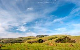 Коровы гористой местности на поле, Калифорнии Стоковые Изображения RF