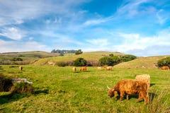 Коровы гористой местности на поле, Калифорнии Стоковая Фотография