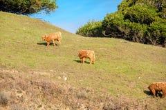 Коровы гористой местности на поле, Калифорнии Стоковое Фото