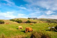 Коровы гористой местности на поле, Калифорнии Стоковая Фотография RF