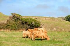 Коровы гористой местности на поле, Калифорнии Стоковое Изображение