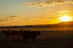 Коровы гористой местности на ферме Стоковое Изображение